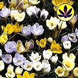 Crocus Species mixed flower bulbs x 100
