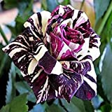 Black Dragon Rose Samen, schöne Streifen Rosenbusch Pflanze, DIY Hausgarten-Blumen - 10pcs / lot