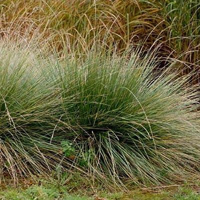 lichtnelke - Atlas-Schwingel (Festuca mairei) von Lichtnelke Pflanzenversand bei Du und dein Garten