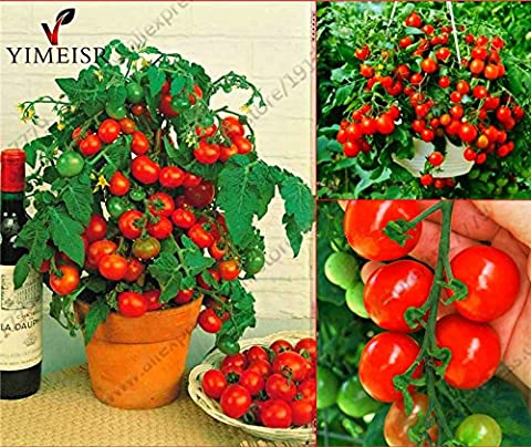 Bonsai Tomato seeds Mini Potted Sweet Cherry Tomatoes Organic Fruit Vegetable seeds Potted Dwarf Tomato plant Seeds