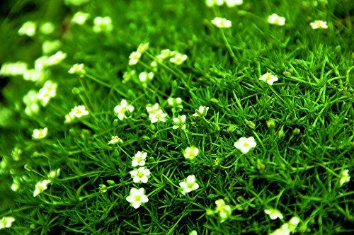 Sagina Irish Moss - Sternmoos dunkelgrün - in Gärtnerqualität von Blumen Eber Irish Blumen