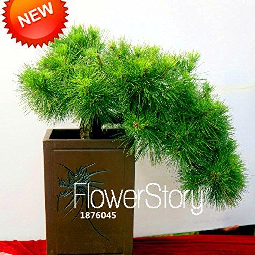 Nouvelle arrivée! Japonais Seeds ornemental Potted Pine Seeds Osaka Bonsai Pine Tree 100 graines / lot, # 619XXZ