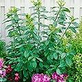 Kirschlorbeerhecke Novita, 6 Pflanzen, topfgewachsen von Amazon.de Pflanzenservice auf Du und dein Garten