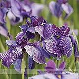 Pinkdose2018 Hot Sale Big Blooming Marginal Bog Water Plant Purple Iris Seeds, Professional Pack, 20 Seeds/Pack #TS028