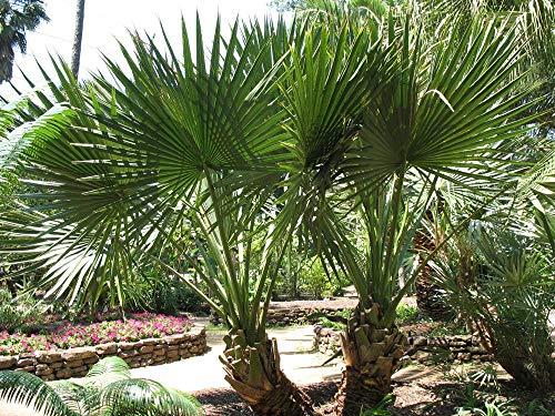 Farmerly 10 Seeds Sabal Minor - Hardy Palm