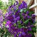 3 Clematis Kletterplanzen: 3 kaufen/2 bezahlen - Blumen: Blau, Weiß & Rot - Winterhärte sehr gut - 1,5 Liter Topfen | ClematisOnline Kletterpflanzen & Blumen von ClematisOnline bei Du und dein Garten