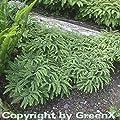Pfauenradfarn Imbricatum - Adiantum pedatum von Baumschule auf Du und dein Garten