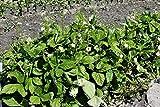 Bundle mit 36 Erdbeeren Alexandria - 36 Pflanzen mit kräftigem Wurzelballen
