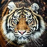 2020 Square Wall Calendar - Tigers