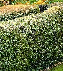 Charmille - Charme commun - Carpinus betulus - Haie en kit - LOT de 100 arbuste