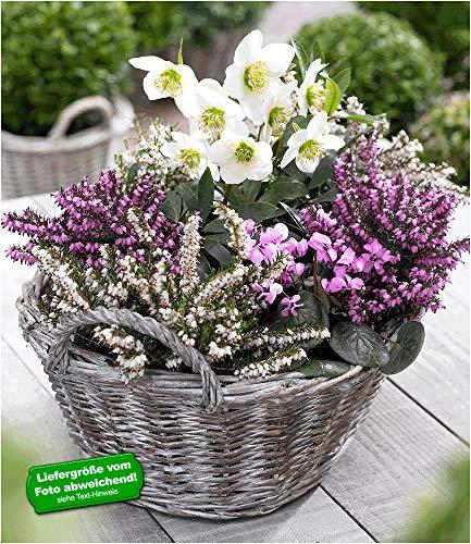 BALDUR-Garten Sortiment Winterzauber, 4 Pflanzen Erica carnea & Helleborus niger