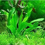 2016 Nuovi 1000 semi pezzi Acquario pianta, acqua acquatica pianta ornamentale Erba Semi, molto facile Grow Piantine 4