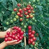 Tomate -Sweet Million- 10 Samen (F1) Ultra Ertrag