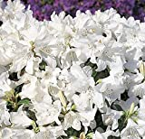 Japanische Azalee Dora Amateis 50-60cm - Rhododendron carolinianum
