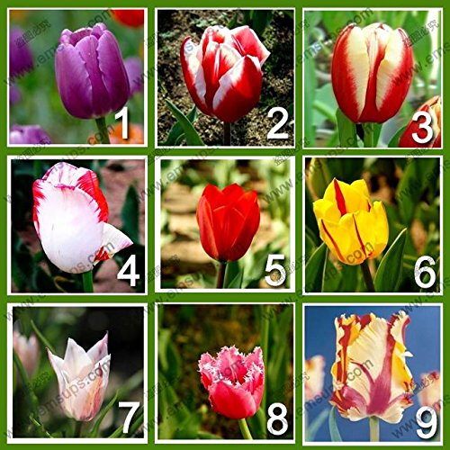 9 couleurs 450 parfum graines de tulipe (50 graines de chaque couleur) fleur de haute qualité des semences Bonsai, la plus belle et plantes colorées de tulipes