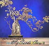 (100) Trident Maple Tree Seed - Acer buergerianum Baumsamen