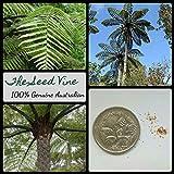 Portal Cool 20+ Nuova Zelanda Black Tree Fern Spore (Cyathea Medullaris) Giardino Kiwi Native