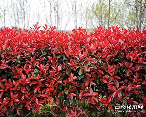 Pas cher! graines de semences forestières Photinia Red Robin feuilles d'arbres de bruyère couvrir des endroits réels 50 graines/Pack - Nouveau Arcis