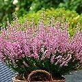 Schneeheide rosa von Meingartenshop auf Du und dein Garten