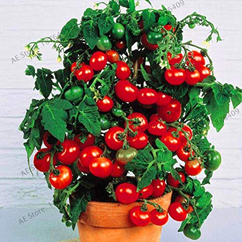Bloom Green Co. Perte de promotion! 100pcs / sac flores tomate cerise. Rare Balcon potager fruits bio Bonsai plantes en pot (rouge, jaune): 13