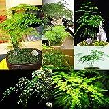IDEA HIGH seeds-60pcs Raras Chinos Nube de bambã1Salón Plantas de Maceta en Interior en jarrón de Flores Plantas de para Dar Aire Fresco