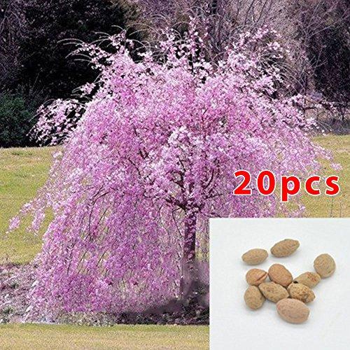 BigFamily Graines d'arbre de Sakura 20 pcs Cherry Blossom Arbre graines Graines de Plantes de Fleurs