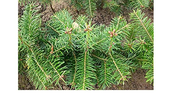 Abies nordmanniana 20 St/ück Nordmanntanne//Weihnachtsbaum - 4 j/ährig Topfware 15-25 cm