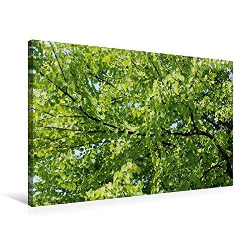 Premium Textil-Leinwand 75 cm x 50 cm quer, Katsura-Baum | Wandbild, Bild auf Keilrahmen, Fertigbild auf echter Leinwand, Leinwanddruck: Der und Parks angepflanzt. (CALVENDO Natur)