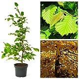 Grüner Garten Shop Hainbuche, Carpinus betulus, Hagebuche, heimischer Laubbaum Heister mit 100-125 cm, 5 Liter Topf