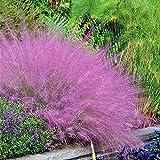 Soteer Garten- 100 Stück Exotisch Ziergras Samen Blauschwingel Chinagras (Miscanthus sinensis) Zierpflanzen Mehrjährige Grassamen