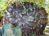 Schildkrötenpflanze Dioscorea elephantipes Jamswurzel Pflanze 10cm Caudex Yams