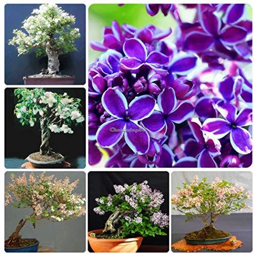 Portal cool type6: nuovo nizza adorabile fiore profumato fioriture lilla fiori semi c1my