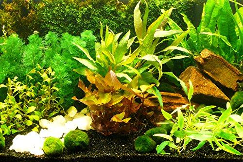 Zoomeister - Aquarium-Pflanzen-Set Sorgenfrei Einfach+Schön+Gut