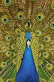 Artland Qualitätsbilder I Alu Dibond Bilder Alu Art 20 x 30 cm Tiere Vögel Foto Natur C3KH Stolzer Pfau