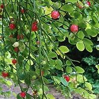 25 Semillas - Semillas de arándano arbusto rojo (Vaccinium parvifolium)