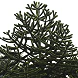 Plant World Seeds - Araucaria Araucana Seeds