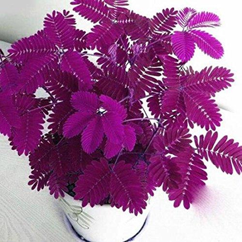 Keptei Samenhaus- Echte Mimose (Mimosa pudica) Samen Empfindliche Zimmerpflanzensamen Sinnpflanze - Rühr mich nicht an