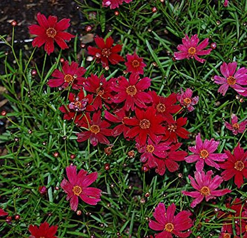 OBI Purpurrote Blüte