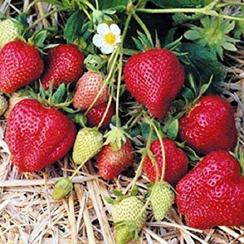 fraisier-mignonette-des-bois-4-saisons-200-graines