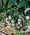 BALDUR-Garten Weiße Ananas-Erdbeere 'Natural White®', 3 Pflanzen & 1 Pflanze Senga Sengana, Fragaria von Baldur-Garten - Du und dein Garten