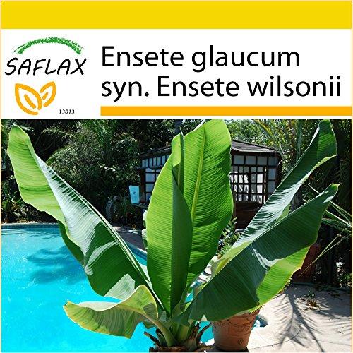 SAFLAX – Anzucht Set – Große Schneebanane – 10 Samen – Ensete glaucum syn. Ensete wilsonii