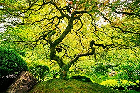 NonWoven Photo Wall Mural 37V Japanese Maple Tree Size 350 X 260 CM In 7 Strips 50 CM Wide X 260 CM High Maple Tree Maple Tree Japan Natural Landscape Garden Wallpaper Poster Mural Wallpaper Image Wall Mural