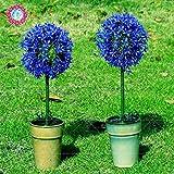 SwansGreen 1 : 100pcs Rare Giant Allium Giganteum Bonsai seeds.Blue Allium perennial flower potted seed, lawn trim and landscaping varieties. 1