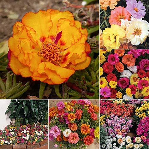 Qulista Samenhaus - Selten Apfelrose-Sylter Rose Mix Beetrose mehrfarbig Blumensamen Mischung winterhart mehrjährig für Beete & Rabatten & Garten