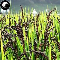 PLAT FIRM Germinación de las semillas: 150pcs: Comprar Arroz Negro semillas de la planta del grano de arroz Oryza sativa Para Alimentos