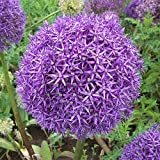 """3x Allium """"Globemaster"""" Mehrjähriger Zierlauch mit großem Lila Blütenball"""