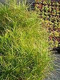 Carex muskingumensis - Palmwedel-Segge, 3 Pflanzen