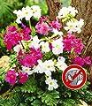 BALDUR-Garten Incarvillea' Blüten-Mix Freilandgloxinie, 3 Stück von Baldur-Garten auf Du und dein Garten
