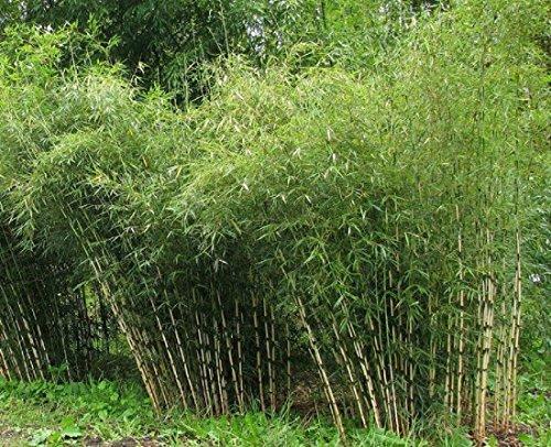 1 Mutter-Pflanze Seltener Frostharter Fargesia nitida Black Pearl Bambus schnellwachsend ca.60-80 cm. Auslieferungshöhe (Bambus Schwarzer)