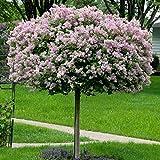 Dominik Blumen und Pflanzen, Flieder Palibin als Stämmchen gezogen, rosa blühend, 1 Pflanze